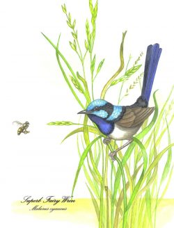 Blue Wren on Grass