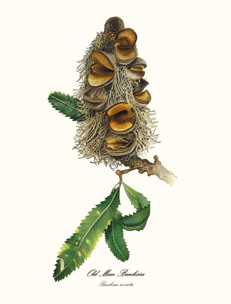 Banksia Serrata Single