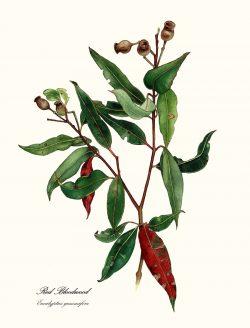 Bloodwood Eucaluptus