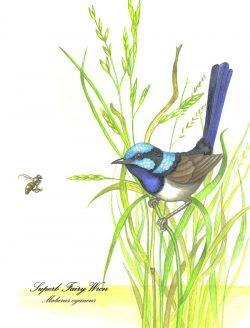 Blue Wren on Grass