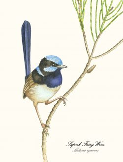 Blue Wren on Tree