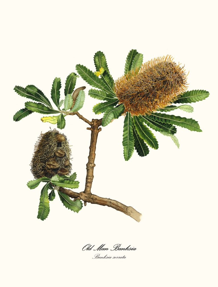 Double Green Banksia
