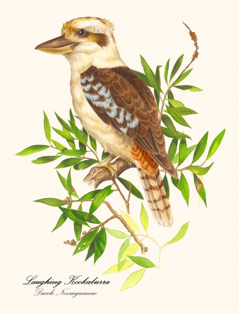 New Kookaburra