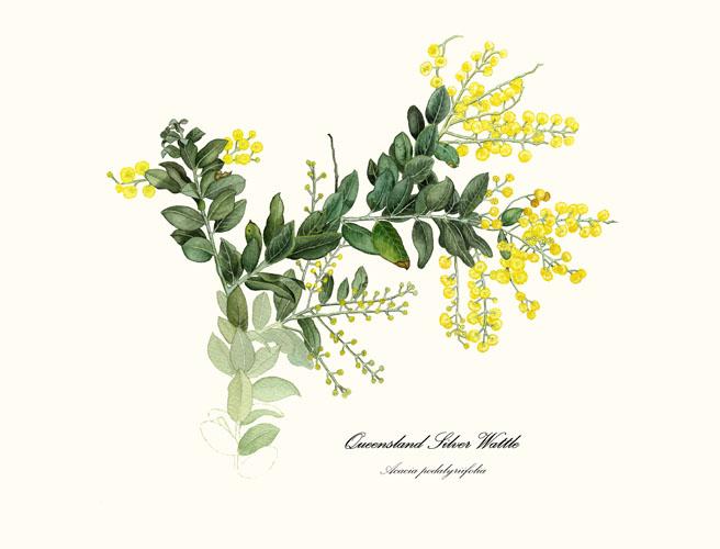 Queensland wattle