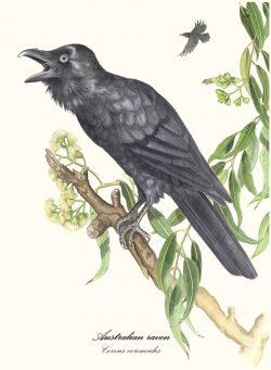 Australian Raven II