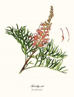 Red Silky Oak