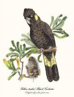 Yellow Tail Black Cockatoo